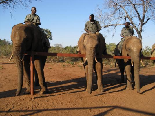 Elephant line-up